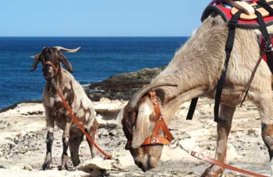 Senderismo con Cabras en Fuerteventura